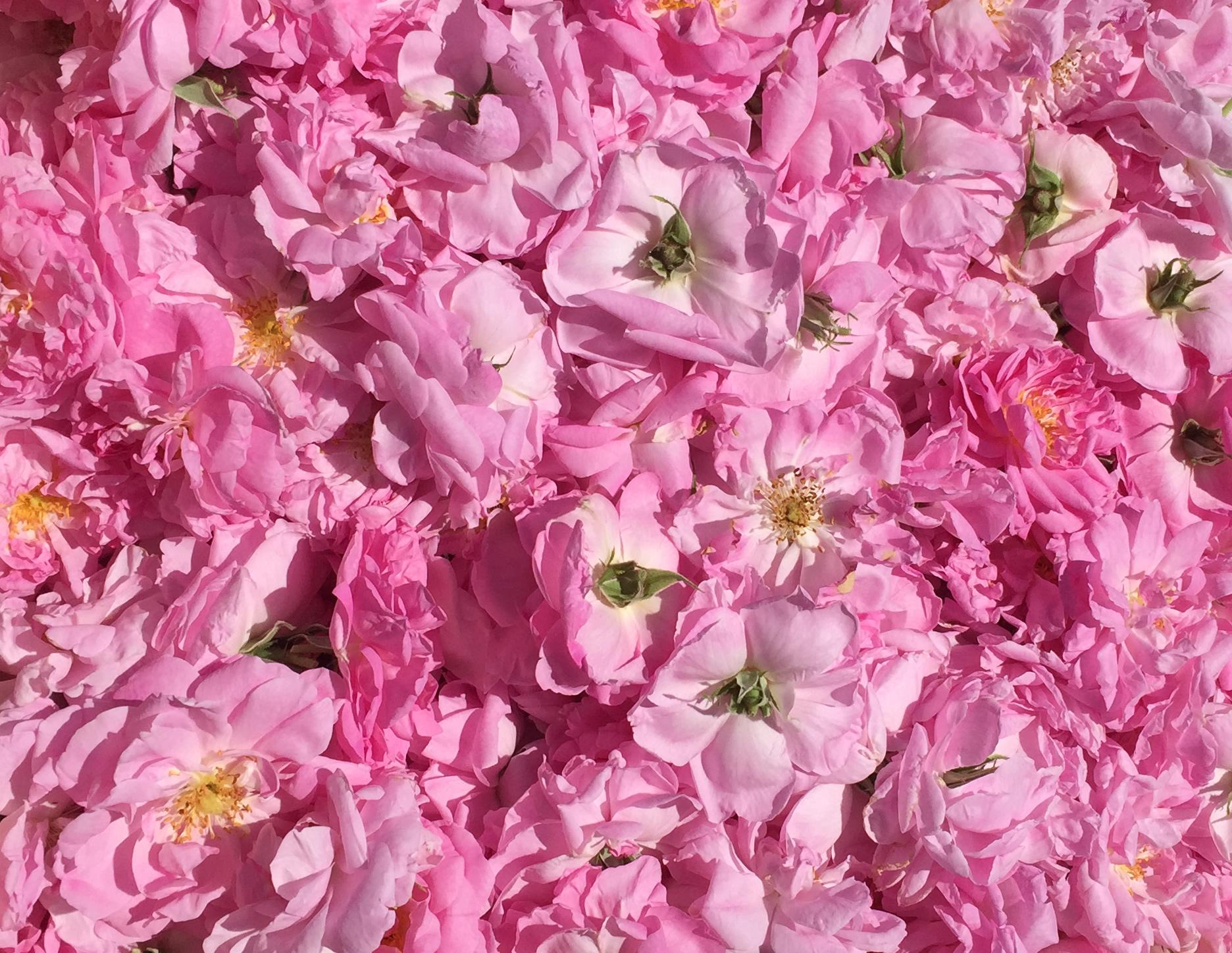 香るバラ、生花、ローズウォーター、苗の販売予約